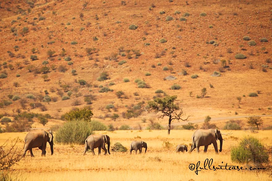Herd of desert elephants in Namibian desert near Palmwag