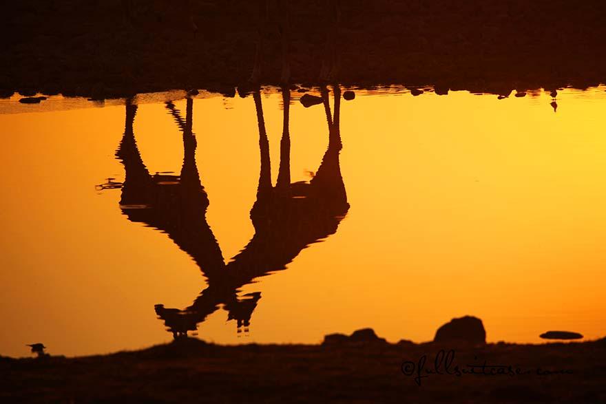 Reflections of two giraffes at Okaukejo waterhole at sunset