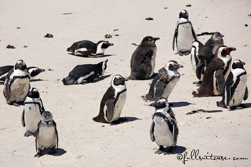 Penguins at Boulders Beach in Simon's Town, Cape Peninsula, South Africa