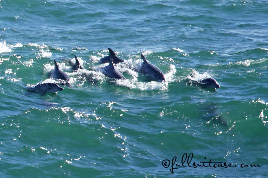 Group of dolphins in Hermanus South Africa