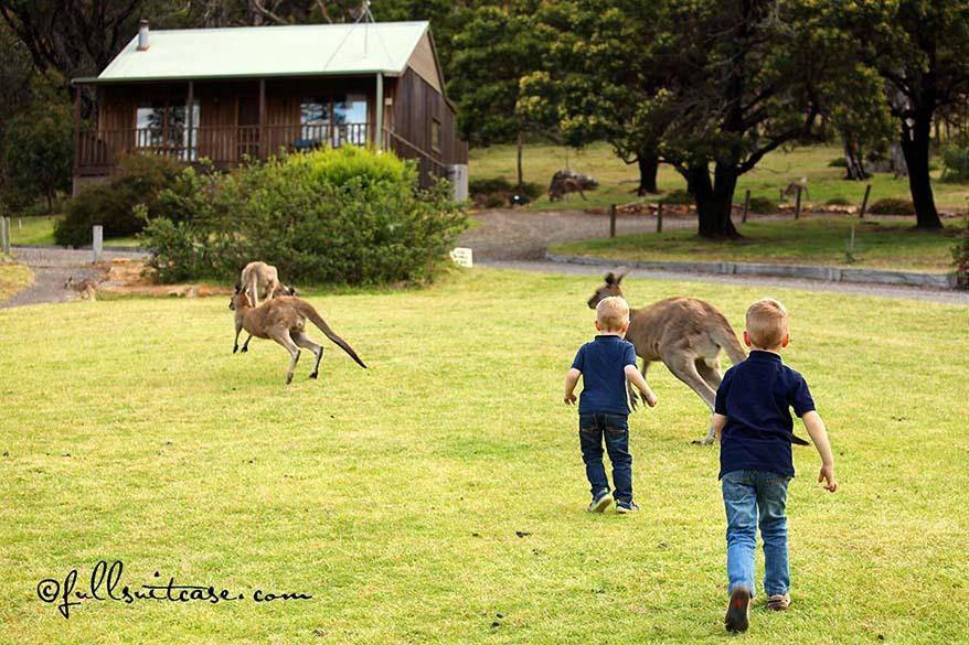 Children chasing wild kangaroos in the Grampians NP Australia