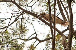 birds will steal food mc kenzie falls australia