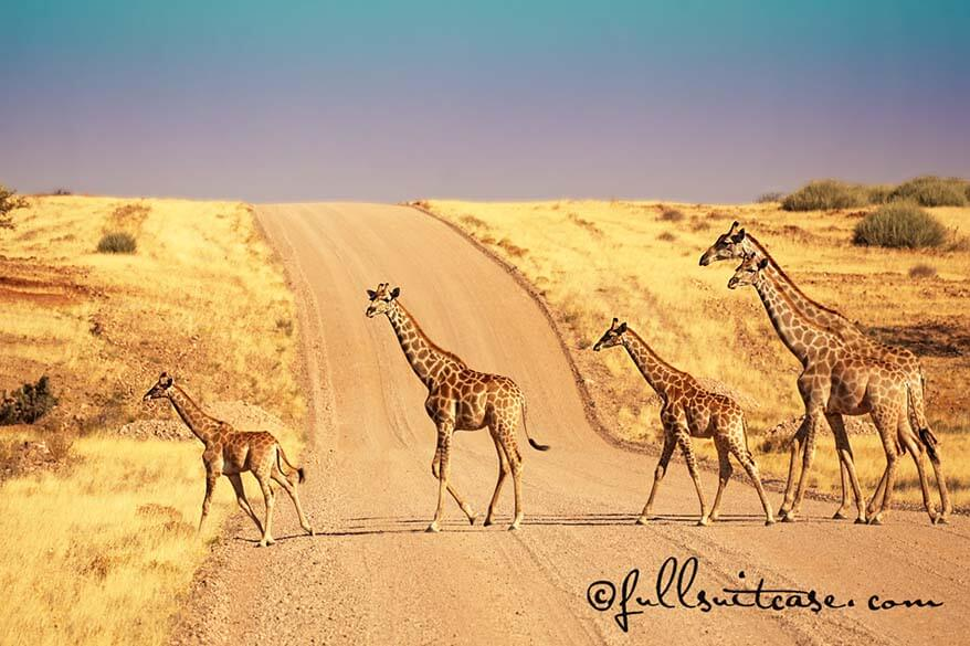 Wild African giraffes on the road in Namibia