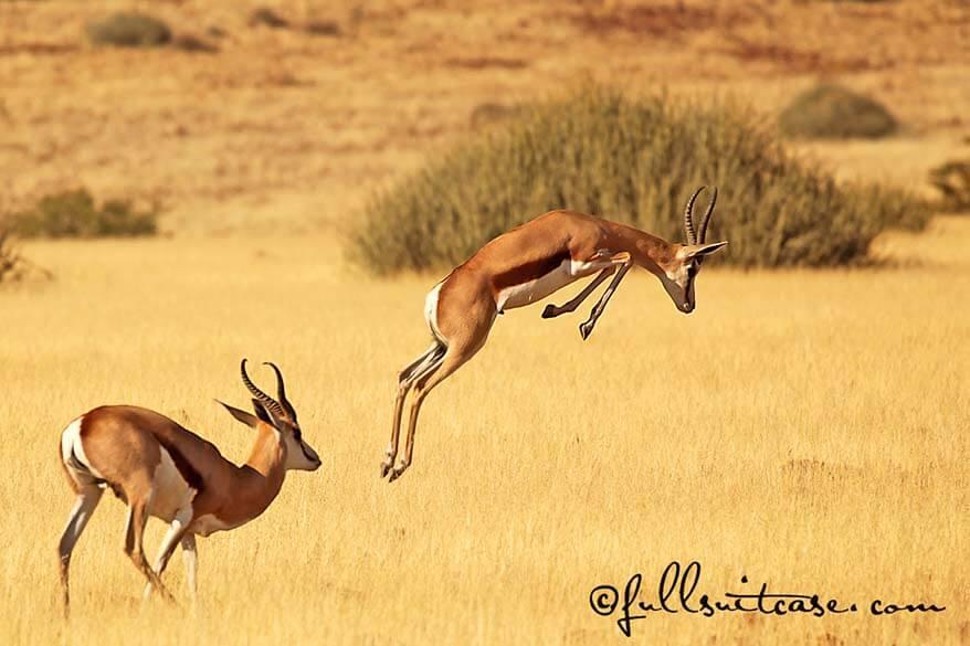 Jumping springbok antelope in Africa