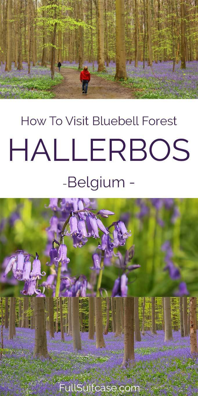 All you may want to know about visiting Hallerbos bluebell forest in Belgium