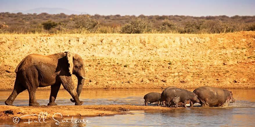Elephant chasing hippos at Erindi waterhole