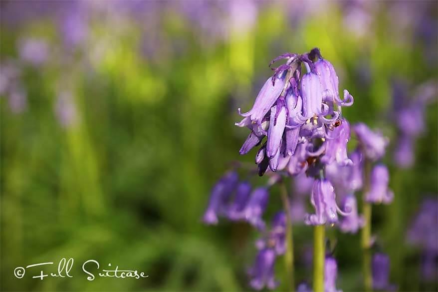 Bluebells - wild hyacinth - in Hallerbos