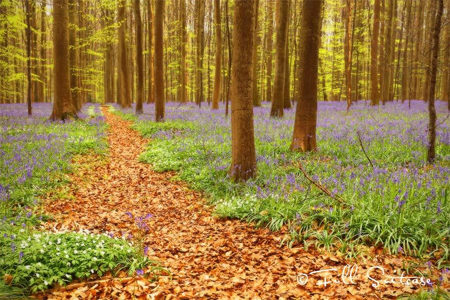 Visit Hallerbos bluebell woods near Brussels in Belgium
