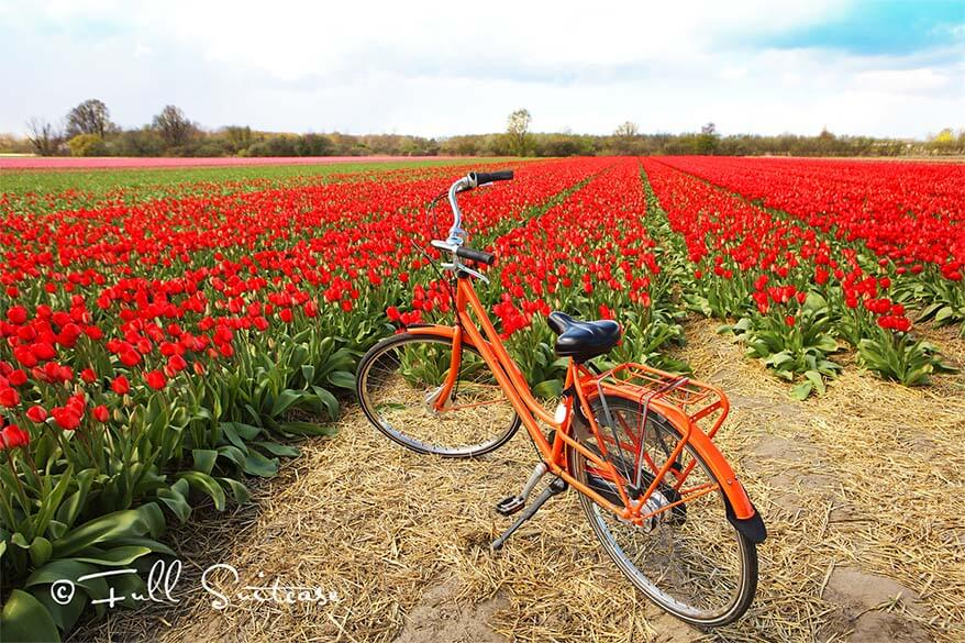 Dutch flower fields are best explored by bike