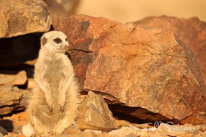 Meerkat in Namibia