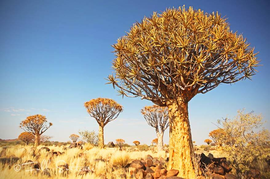 Quivertree Forest Namibia