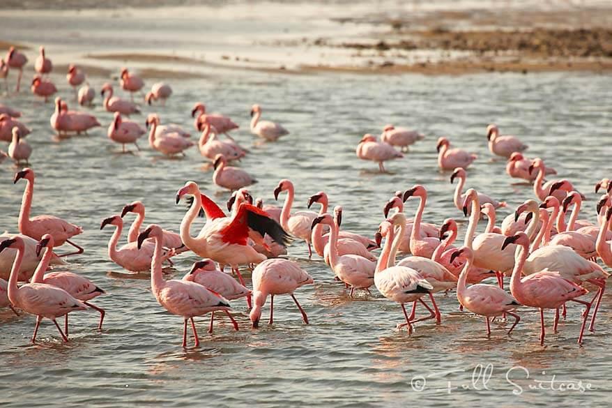 Walvis Bay Flamingos in Namibia