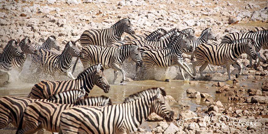 Zeebras in Etosha National Park