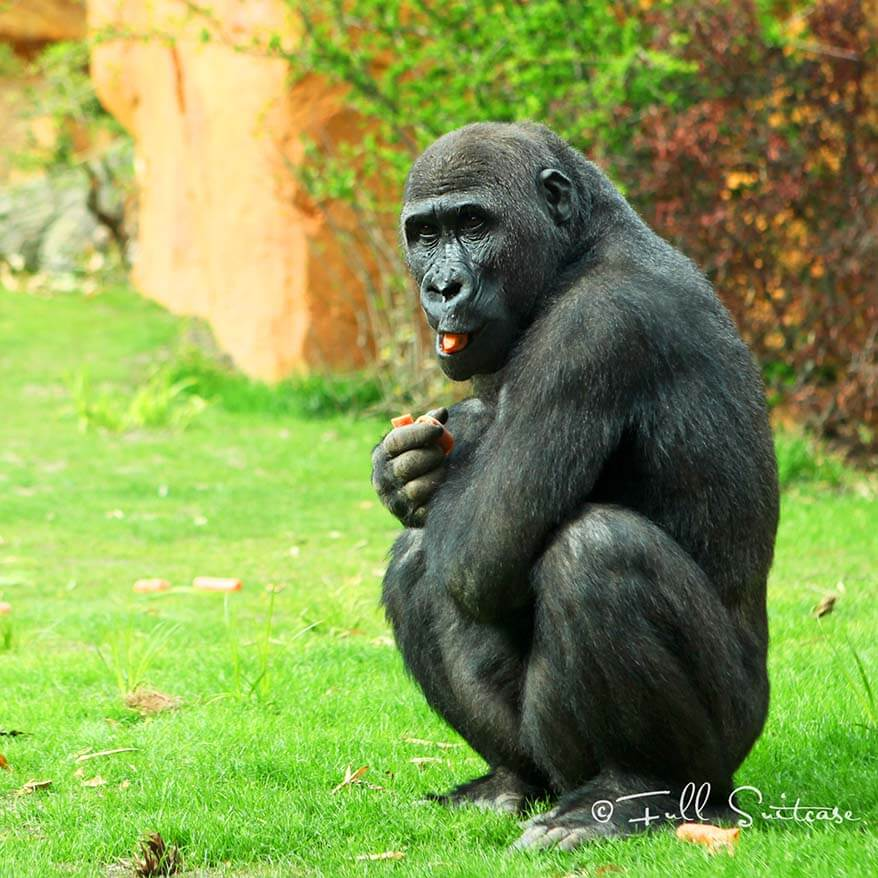 Gorilla at Amneville zoo
