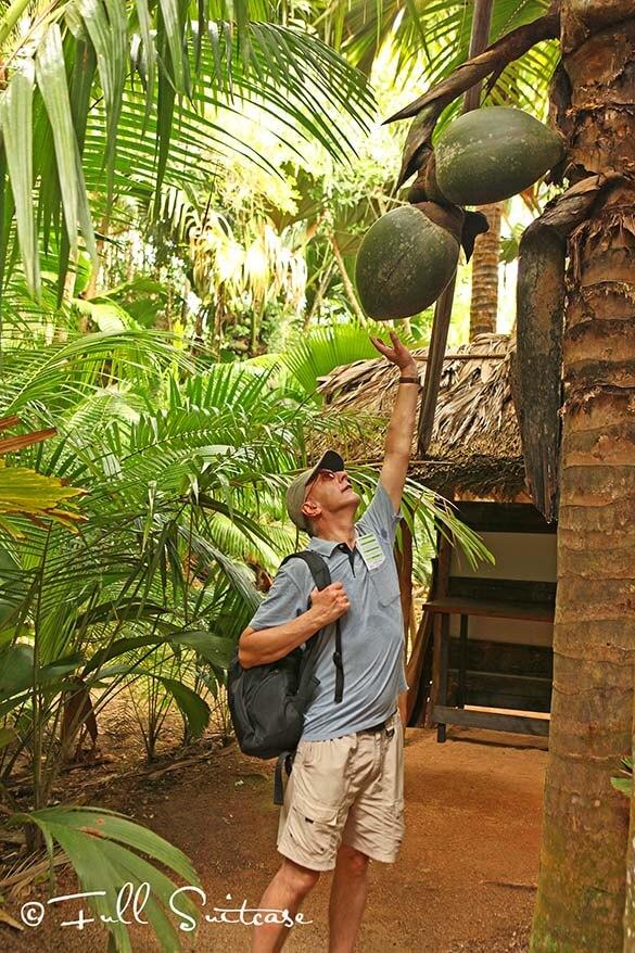 Coco de mer in Vallée de Mai UNESCO heritage site on Praslin island