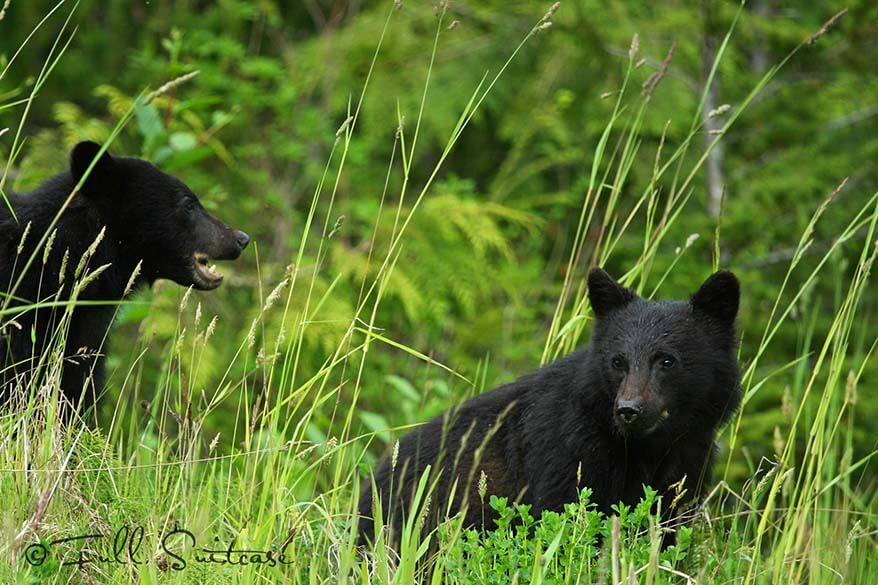 Black bear cubs in the forest in BC Canada