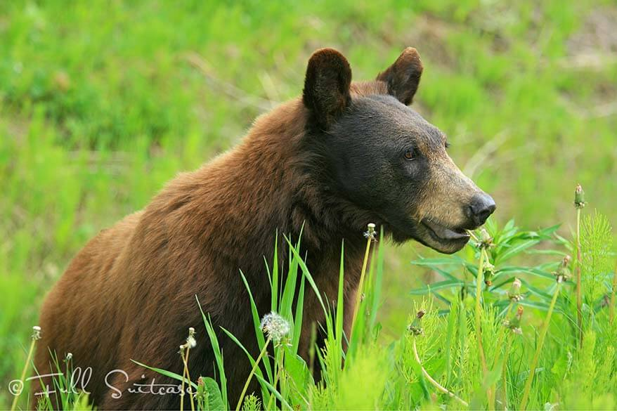 Black brown bear in Canada