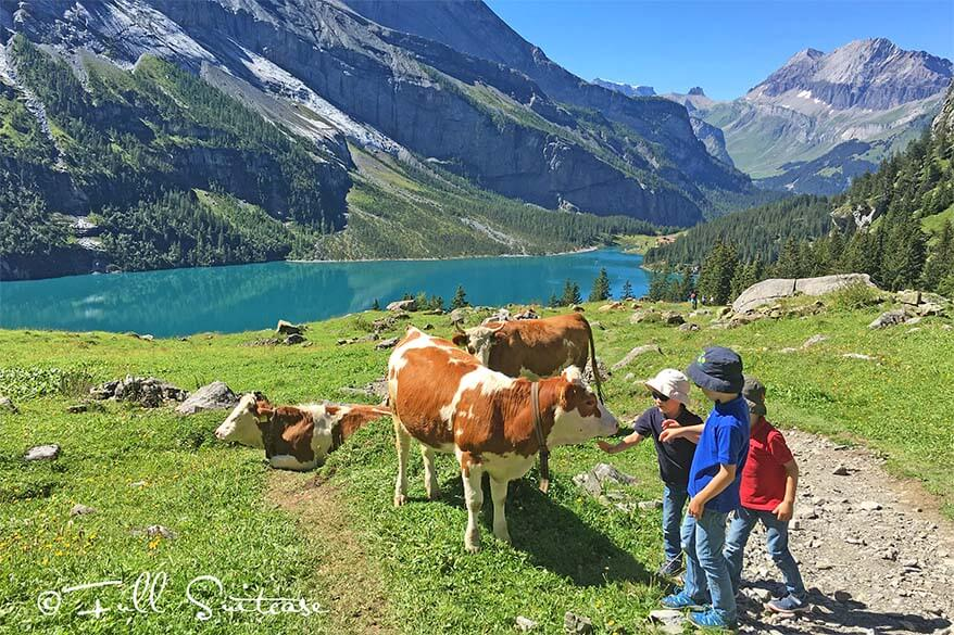 Kids with Swiss cows at Unterbergli