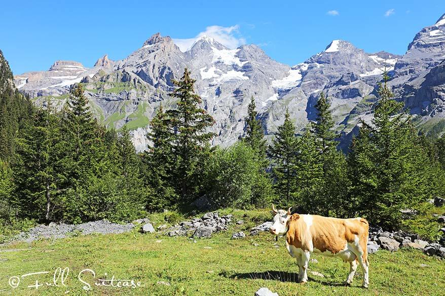 Swiss cow in the mountains