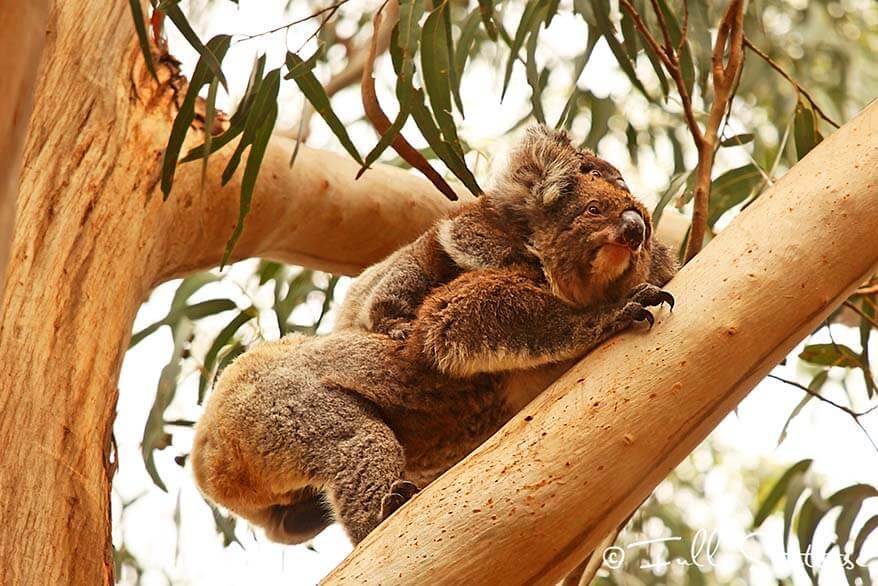 Spotting koalas at Hanson Bay Wildlife Sanctuary on Kangaroo Island