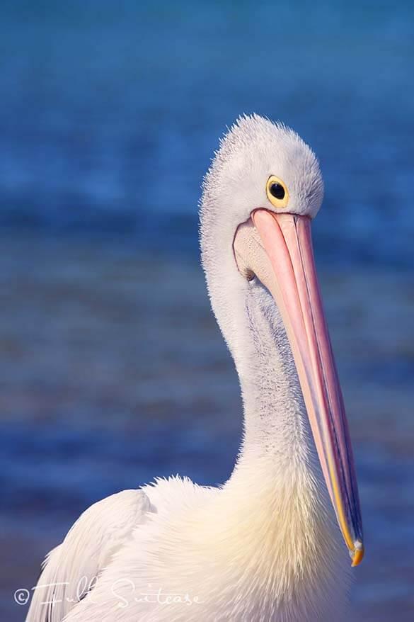 Pelican on Kangaroo Island