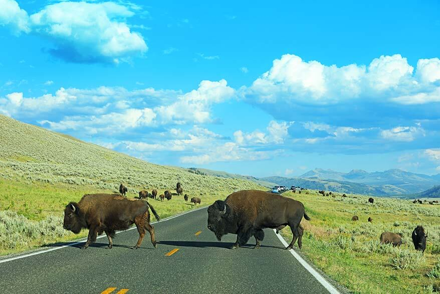 Bison crossing the road in Yellowstone National Park