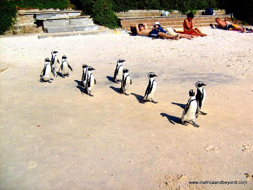 Boulders Beach Penguins Simon's Town South Africa