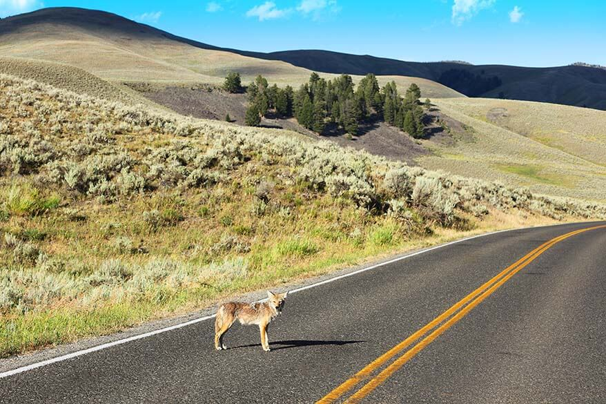 Coyote on the road in Lamar Valley in Yellowstone National Park