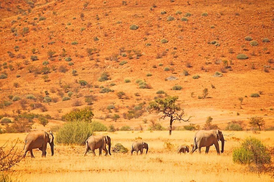 Herd of desert elephants in Namibia