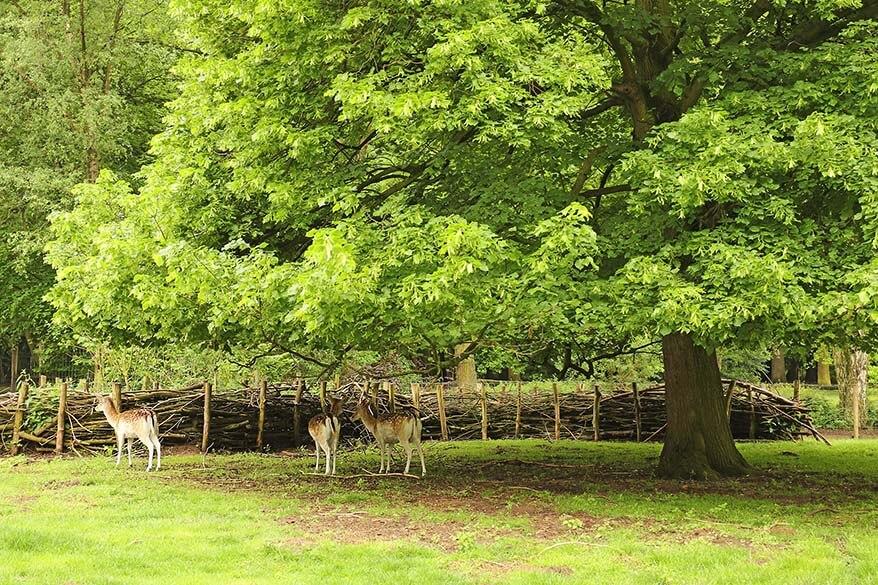 Deer at the Nachtegalenpark - Middelheim in Antwerp
