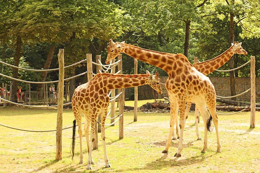 Giraffes in Planckendael