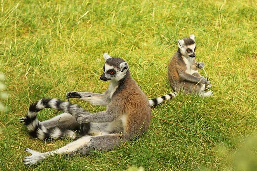 Lemurs in Planckendael