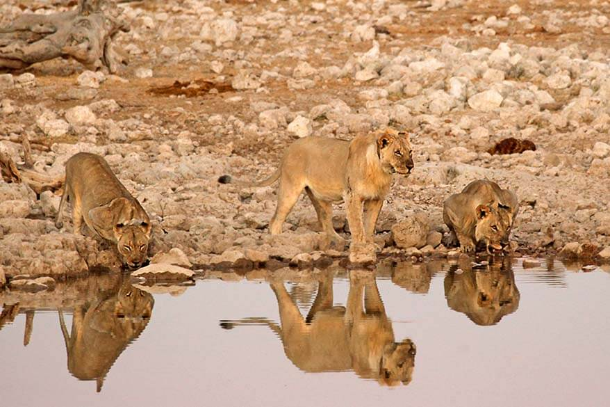 Lions at Okaukuejo waterhole in Namibia