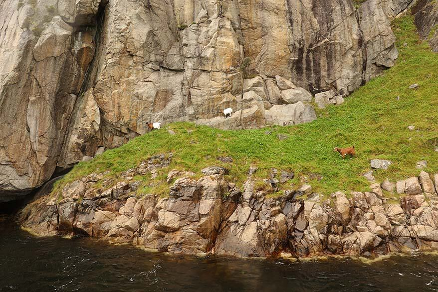Goats at the Lysefjorden