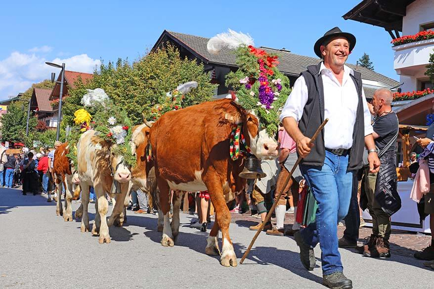 Almabtrieb or Transhumance is a traditional cattle drive celebration in Tyrol Austria