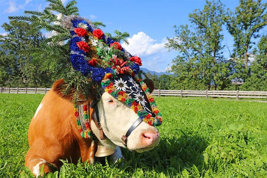 Cow with decorative headdress at the traditional cattle drive Almabtrieb celebration in Tirol Austria