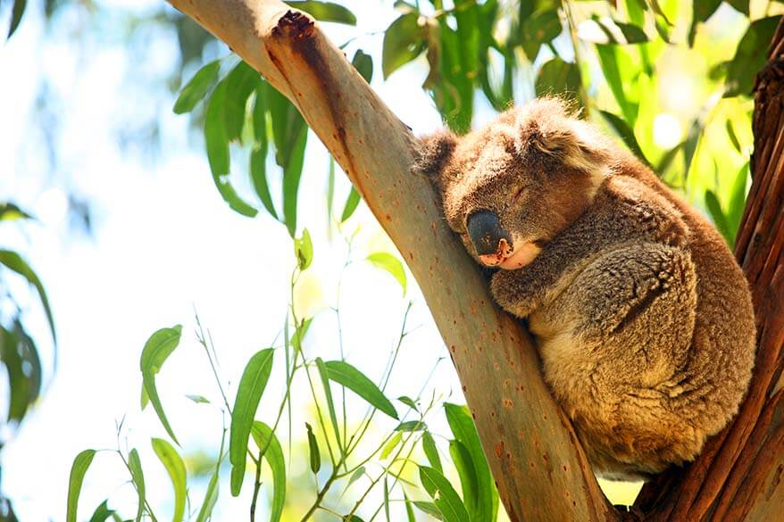 Kennett River Koala Walk is the best place to spot wild koalas in Australia