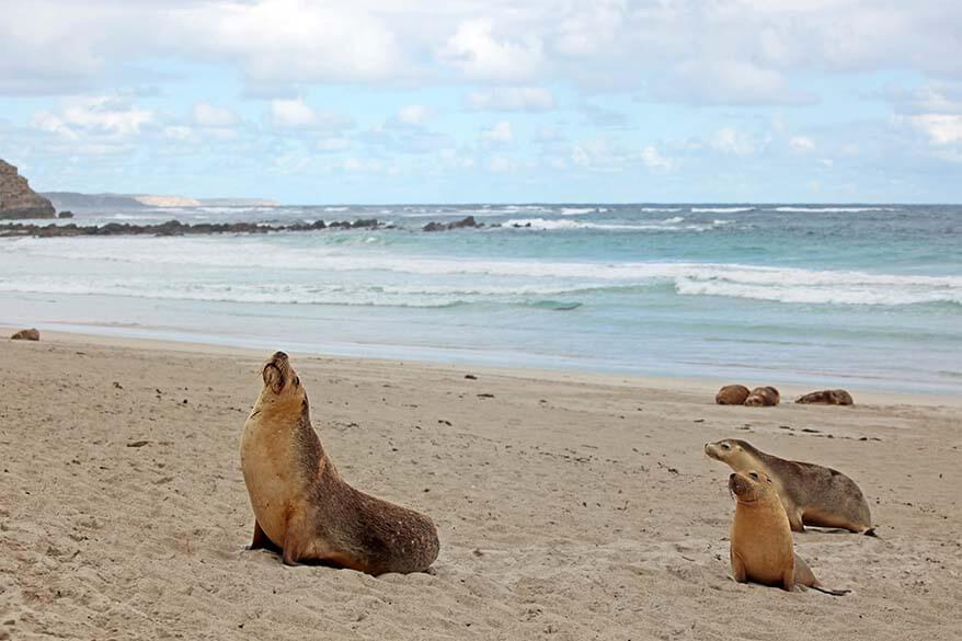 Seals on Kangaroo Island Australia