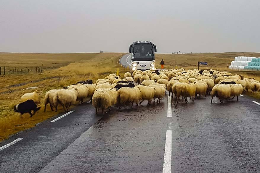 Traffic Jam in Iceland - sheep on the Ring Road