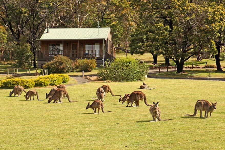 Wild kangaroos in the Grampians NP Australia