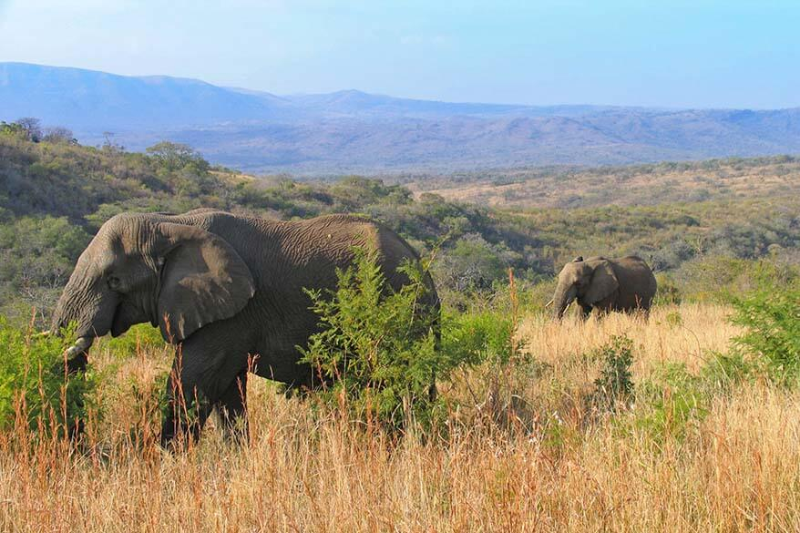 Elephants in Hluhluwe–Imfolozi Park South Africa