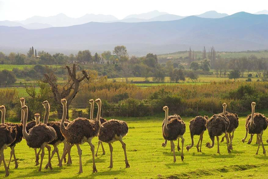 Ostriches in Oudtshoorn South Africa
