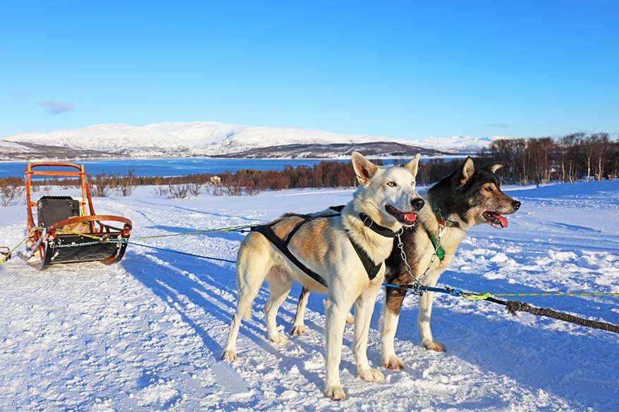 Dog sledding with Alaskan huskies is a must do winter activity in Tromso Norway