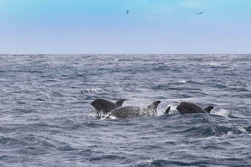 Wild dolphins near Madeira coast