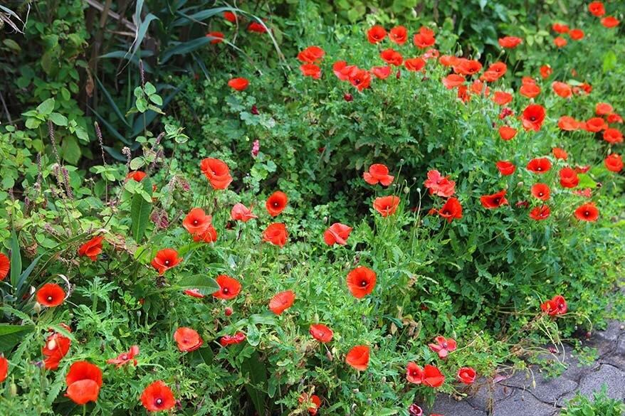 Red poppy flowers in Madeira