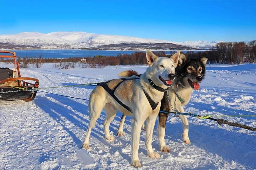 Husky pulled sled - Tromso Norway