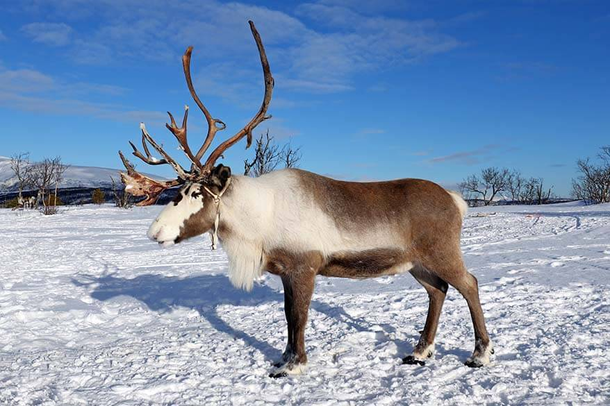Reindeer in Tromso