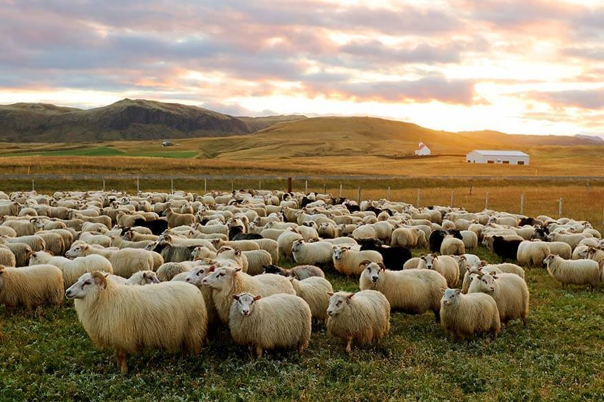 Rettir – the annual sheep round-up in Iceland in September