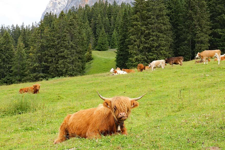 Scottish cows at Ehrwalder Alm in Tirol