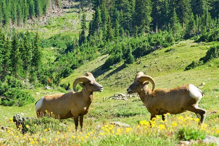 Big horn sheep in Rocky Mountain NP Colorado in summer